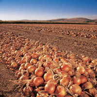 Onion Wind Row